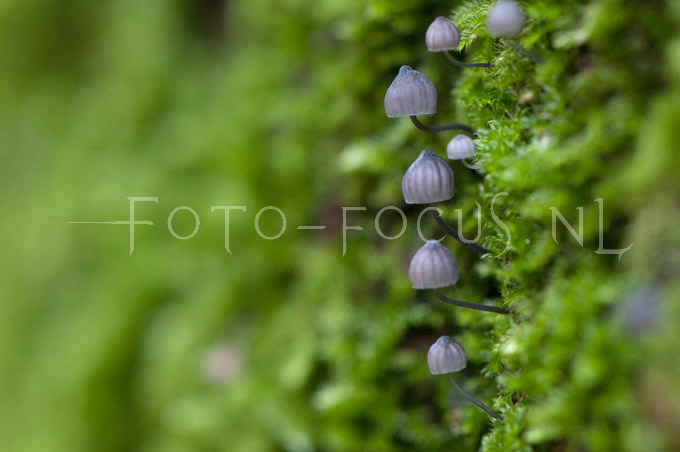 Mycena pseudocorticola - Blauwgrijze schorsmycena1