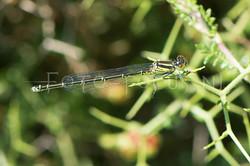 Erythromma viridulum - Kleine roodoogjuff.1 -female