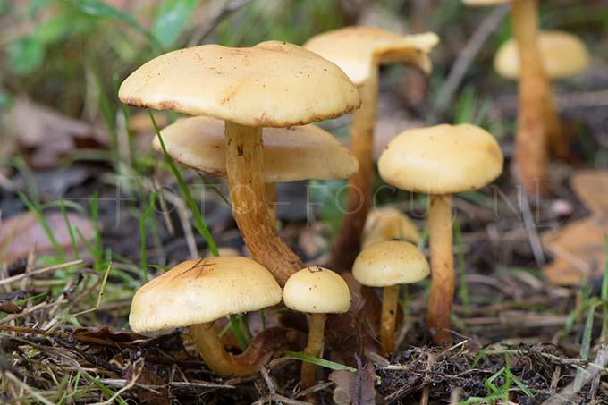 Cortinarius delibutus - Okergele gordijnzw.1