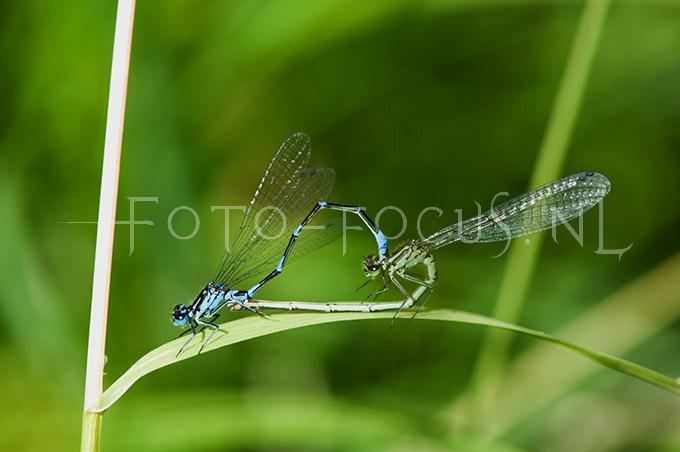 Coenagrion pulchellum - Variabele waterjuff.3- copula