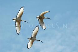 Eudocimus albus - Witte ibis