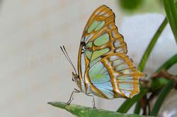 Siproeta stelenes - Malachietvlinder1