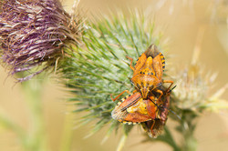 Carpocoris purpureipennis - Knoopkruidschildwants