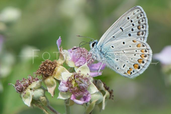 Polyommatus icarus - Icarusblauwtje2