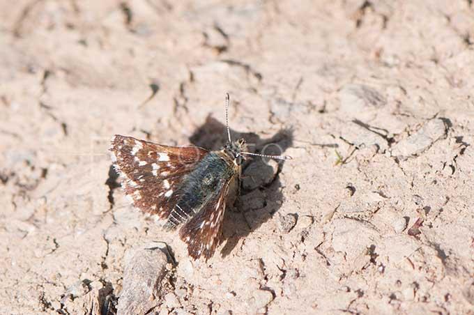 Spialia sertorius - Kalkgraslanddikkopje