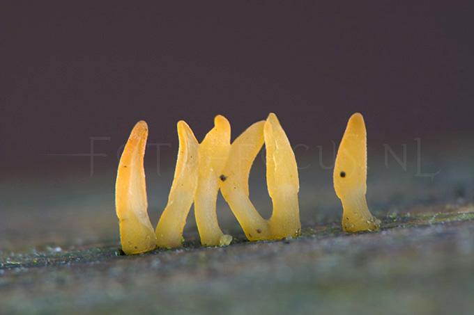 Calocera glossoides - Knotshoorntje3