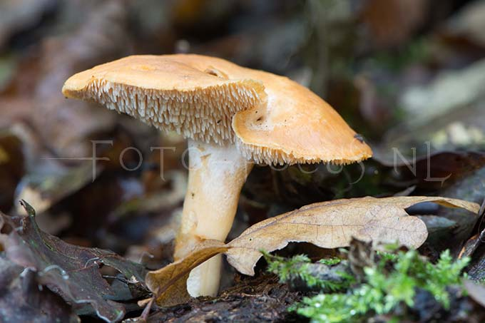 Hydnum rufescens - Rossige stekelzw2