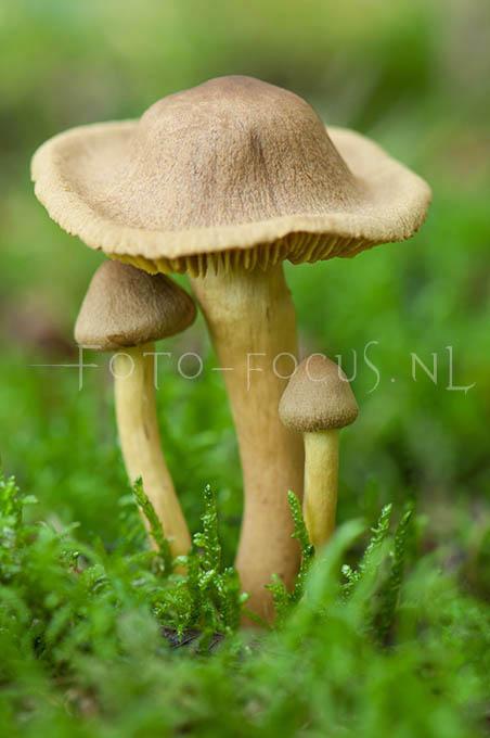 Cortinarius croceus - Geelplaatgordijnzw2