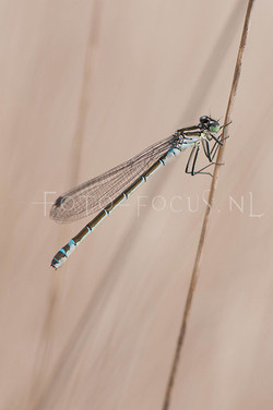 Coenagrion lunulatum - Maanwaterjuff.1- female