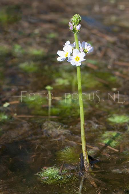 Hotonia palustris - Waterviolier1