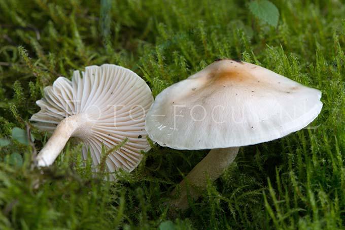 Hygrophorus nemoreus - Viltige slijmkop1