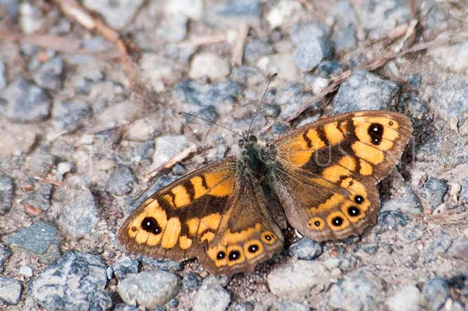 Lasiommata megera - Argusvlinder2 male