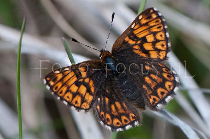 Hamearis lucina - Sleutelbloemvlinder2 -male