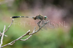 Orthetrum sabina - Slanke oeverlibel- male