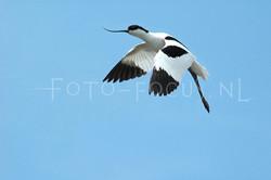 Recurvirostra avosetta - Kluut1