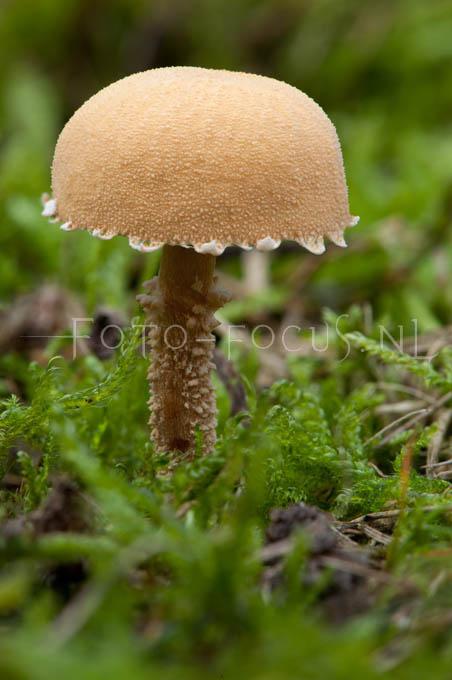 Cystoderma jasonis - Oranjebruine korrelhoed2
