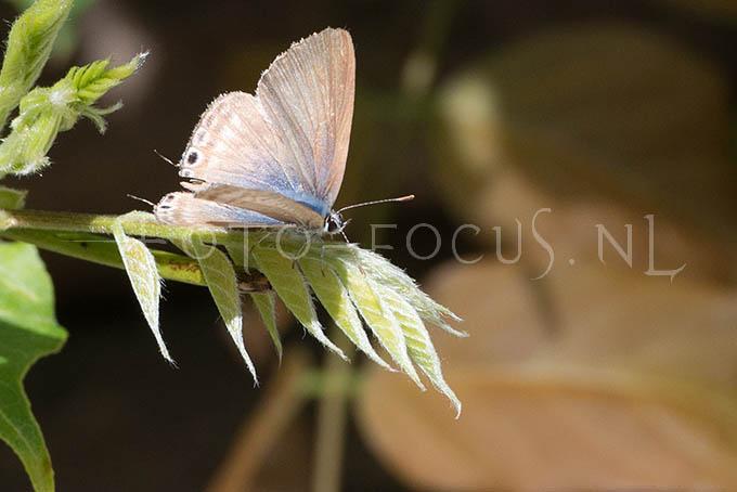 Lampides boeticus - Tijgerblauwtje1