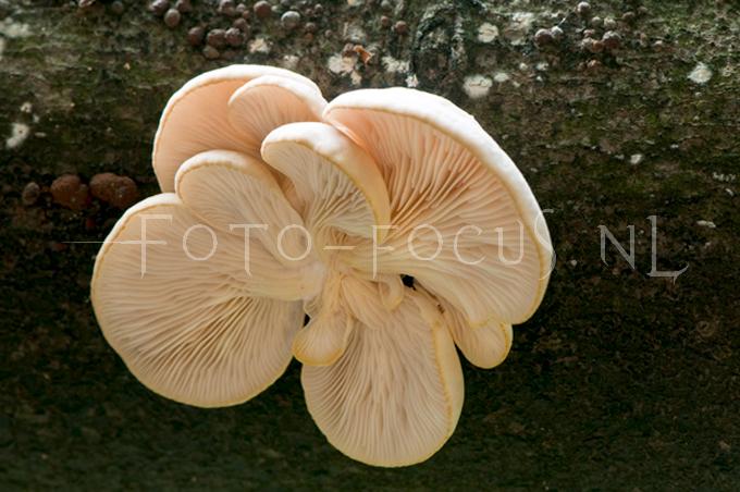 Pleurotus pulmonarius Bleke oesterzw