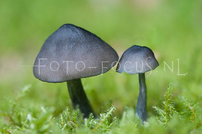 Entoloma nitidum - Blauwe satijnzw