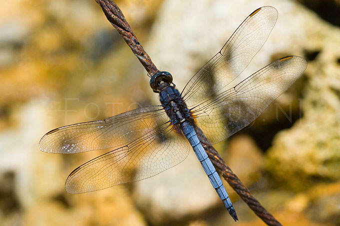 Orthetrum glaucum - male