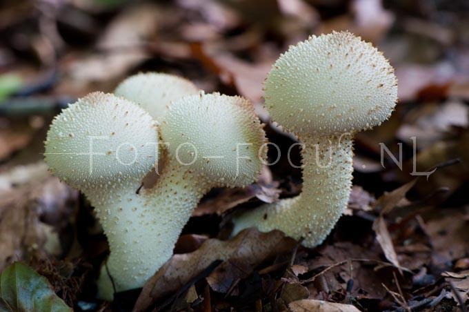 Lycoperdon perlatum - Parelstuifzw