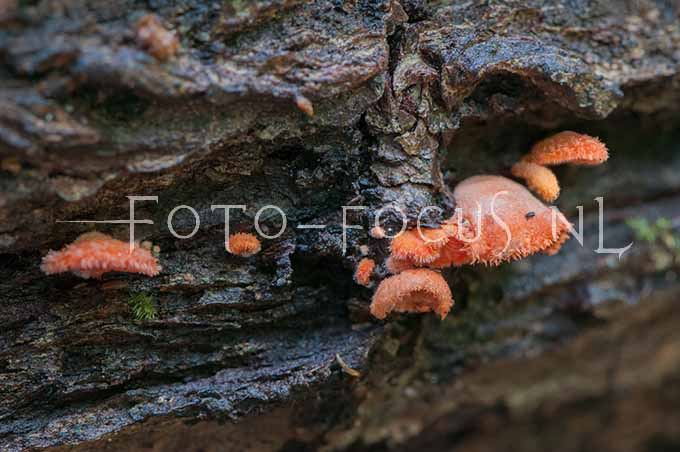 Crepidotus cinnabarinus - Rood oorzw1