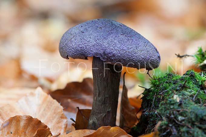 Cortinarius violaceus - Violette Gordijnzw