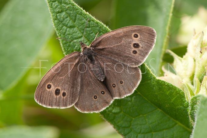 Aphantopus hyperantus - Koevinkje female1
