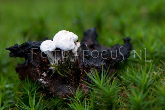 Asterophora lycoperdoides - Poederzwamgast1