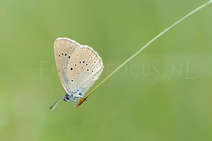 Phengaris teleius - Pimpernelblauwtje4 -male