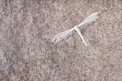 Pterophorus pentadactyla - Sneeuwwitte vedermot