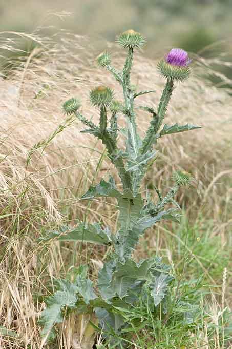Onopordum acanthium - Wegdistel1