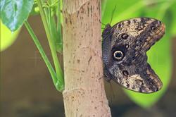 Caligo memnon - Uilvlinder Copula