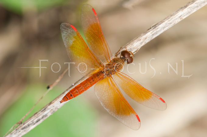 Brachithemis contaminata2- male