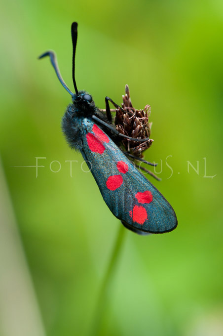 Zygaena filipendulae - st. Jansvlinder2