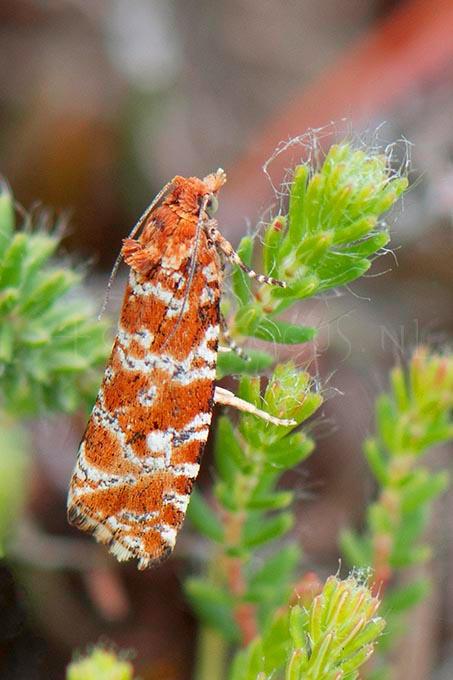 Phiaris schulziana - Granietbladroller