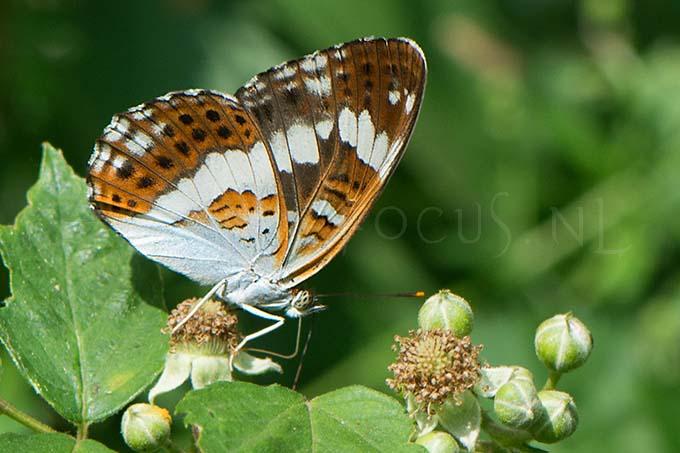 Limenitis camilla - Kl. IJsvogelvlinder1