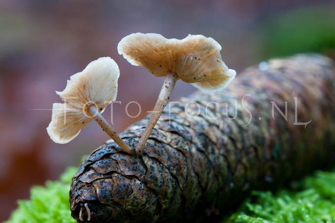 Baeospora myosura - Muizenstaartzw3