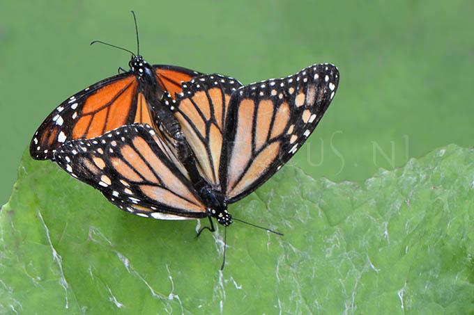Danaus plexippus - Monarchvlinder -copula