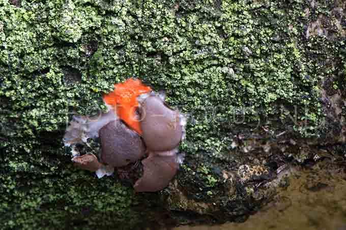Dictydiaethalium plumbeum - Loodkleurig netplaatje1