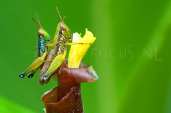 Caryanda spuria - Copula