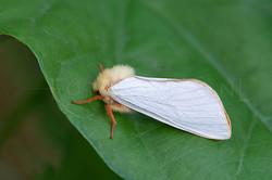Hepialus humuli - Hopwortelboorder -male