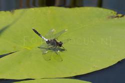 Leucorrhinia caudalis - Sierlijke witsnuit1 -male