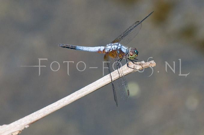 Brachydiplax chalybea chalybea- male