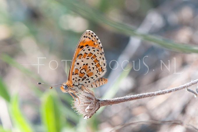 Melitaea trivia - Toortsparelmoervlinder2