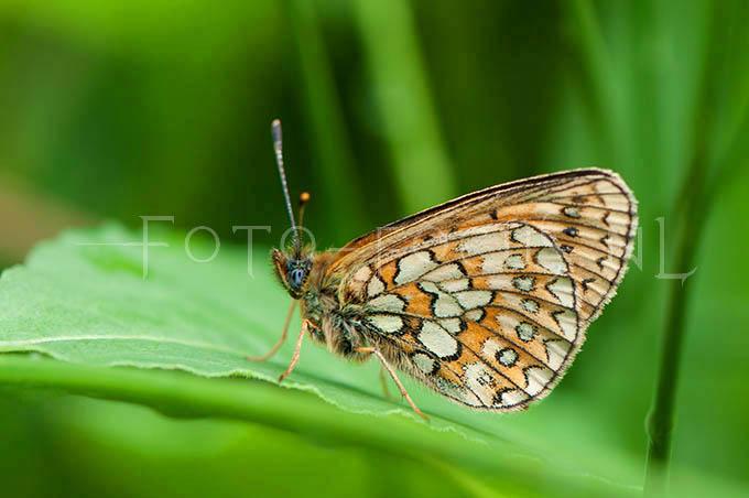 Boloria eunomia - Ringoogparelmoervlinder2