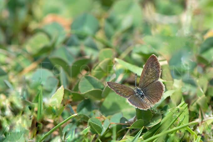 Zizeeria knysna - Ametistblauwtje1 -female