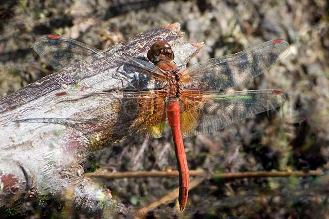 Sympetrum flaveolum - Geelvlekheidelibel