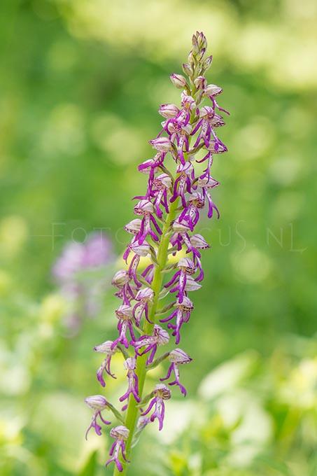 Orchis anthropophora x Orchis militaris - hybride Poppenorchis x Soldaatje2