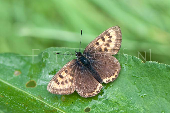 Lycaena helle - Blauwe vuurvlinder1 -female